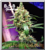 B-S-B Genetics Auto Manderine Dream XL Fem 5